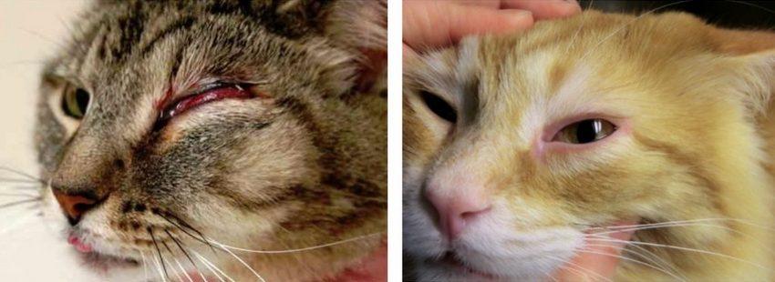 У кошки слезятся глаза что делать в домашних условиях 99