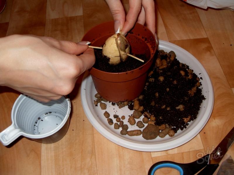 Как посадить семечко у в домашних условиях 251