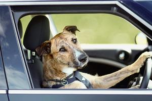 trenger pass av hund for en periode